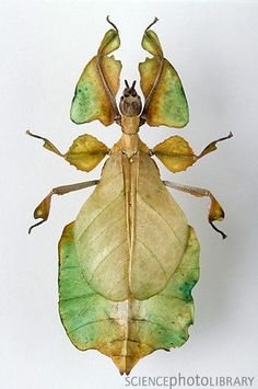 """Walking Leaf"" insect ~ from the Walking Stick family of insects."