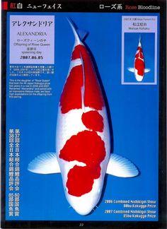 Koi Art, Salt Water Fish, Freshwater Aquarium Fish, Koi Fish Pond, Japanese Koi, Kohaku, Goldfish, Champion, Ponds