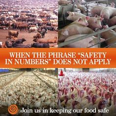 """When the phrase """"Safety In Numbers"""" does not apply... say NO to factory farming."""