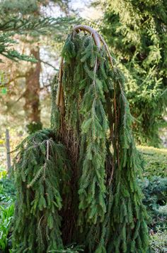 """Inversa Norway Spruce (Picea abies ' One of the hardiest weeping trees and works well to create a focal point. Really a ground cover, it is trained on a central stake support to give it a """"trunk"""". Special order only. Weeping Evergreen Trees, Evergreen Trees Landscaping, Evergreen Garden, Conifer Trees, Garden Trees, Outdoor Landscaping, Outdoor Plants, Weeping Mulberry Tree, Small Weeping Trees"""