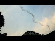 Bats swarm flying in endless undulating ribbon in sky (Deer Cave, Mulu national park, Borneo) - YouTube