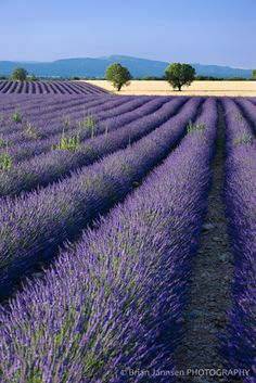 The photographer calls this lavender and barley fields (in Province.) It looks surreal, doesn't it?