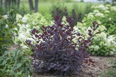 Winecraft Black™ Smokebush - Cotinus coggygria for the front house border Landscaping With Rocks, Landscaping Plants, Front Yard Landscaping, Landscaping Ideas, Landscaping Software, Landscape Borders, Landscape Plans, Landscape Designs, Red Plants
