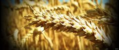 Wheat A to Z  26 Things to Know