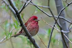 Purple Finch, Angeles National Forest, Los Angeles, California