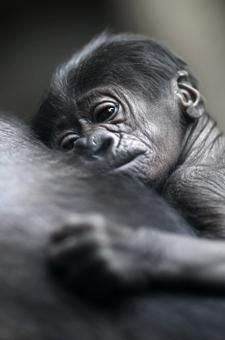 A baby gorilla rests on its mother at the zoo in Frankfurt, Germany.