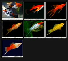 Swordtails are very active livebearers with a similar gestation period to the guppy. Their higher activity should be compensated with a larger tank. Males can be aggressive.