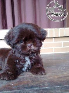 Produto Shitzu Puppies, Cute Puppies, Cute Dogs, Puppys, Perro Shih Tzu, Shih Tzu Puppy, Animals And Pets, Cute Animals, Puppy Love