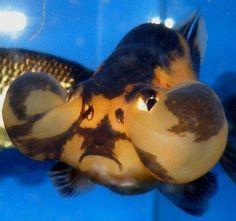 Bubble Eye (Goldfish)