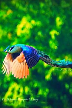 Beautiful Flying peacock