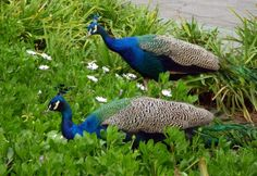 The peacocks roam freely at the Los Angeles County Arboretum & Botanic gardens. Their vivid blue neck feathers really contrast the landscape. Photo by Linda Hong