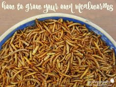 How to Raise and Breed Mealworms for your Chickens