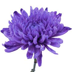 FiftyFlowers.com - Purple Wedding Cremon Flower