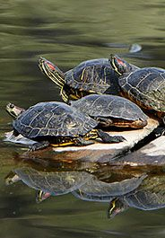 Turtles, I am stopping for all turtles in the road this year!  And if I can safely do it, I am getting out and moving them across the road.  Please don't smash the turtles!