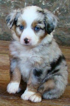 pinterest: jajnagyon∆ Cute Baby Dogs, Cute Dogs And Puppies, Cute Baby Animals, Doggies, Australian Shepherd Puppies, Aussie Puppies, Toy Aussie, Mini Aussie Puppy, Mini Australian Shepherds