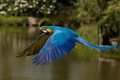 Ara ararauna in volo - Flying blue-and-yellow macaw
