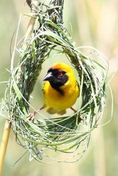 masked weaver building his nest