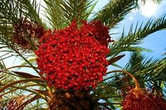 Palm oil is extracted from one of two parts of the palm plant. Palm oil from the fruit of the palm plant is different from palm oil from kernels, or the nut of the fruit. Palm Tree Fruit, Palm Fruit Oil, Palm Oil, Palm Trees, Nutcracker Image, Fruits Images, Palm Plant, Gif Of The Day, Boiler