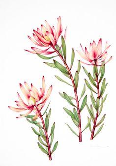 australian native flowers watercolour - Google Search