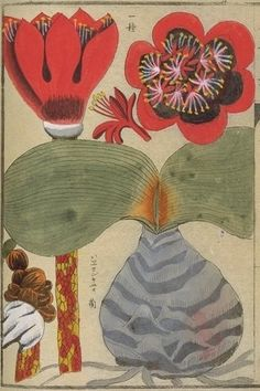 Flower. This image comes from albums of flora (本草図譜) from the Museum at the University of Tokyo (http://www.um.u-tokyo.ac.jp/dm3/Database/honzo.html)