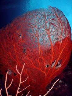 Red Coral sea fan