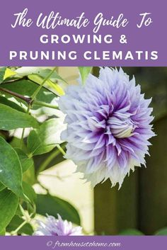 Learn how to prune, grow and care for Clematis vines to get those big purple, blue and pink blooms in your garden. This guide includes lots of pictures and a list of the best varieties to grow for your garden design. #fromhousetohome #perennials #gardeningtips #gardenideas #vines #clematis