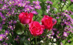 Beautiful Roses - Widescreen wallpapers