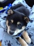 Bandit at 8 weeks - he's coming home with us! 8 Weeks, Coming Home, Shiba Inu, Dogs, Animals, Animales, Animaux, Pet Dogs, Doggies