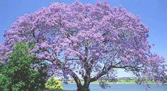 Kiri, el árbol que podría salvar el mundo