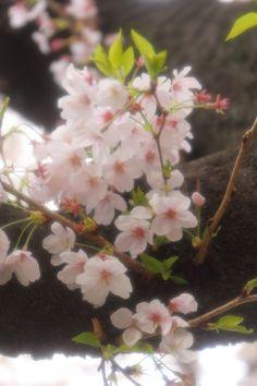https://flic.kr/p/mPgp9h | SAKURA(Cherry blossom) / Sengawa(Toho Studio), Setagaya, Tokyo
