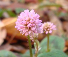 Polygonum capitatum - Flowers - http://lefotodiluisella.blogspot.it/