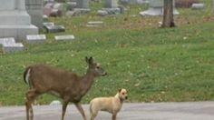 VIDEO: Deer, Dog Bond in KC Cemetery