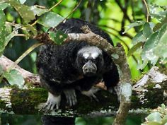 Equatorial Saki - Pithecia aequatorialis - This New World monkey of the family Pitheciidae is found in areas of Ecuador and reportedly, Peru. It is a canopy dweller and very rarely will it descend to the ground
