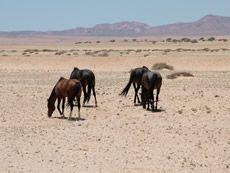 Namibia - Aus Namibia - Luderitz - Luderitz Peninsula - Kolmanskop Ghost Town - Feral Desert Horses