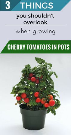 Growing Tomatoes In Containers 3 things you shouldn't overlook when growing cherry tomatoes in pots. Container Vegetables, Planting Vegetables, Fresh Vegetables, Growing Vegetables, Container Gardening, Balcony Gardening, Veggies, Growing Cherry Tomatoes, Growing Tomatoes In Containers