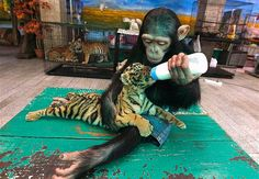 """""""Animals in love -- A 2-year-old chimpanzee dotes on a tiny tiger cub at a zoo in Thailand."""" ~MSN Photos"""