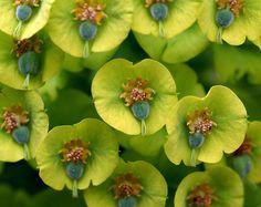 Wolfsmilch, Palisaden- / Mediterranean spurge (Euphorbia characias ssp. wulfenii)