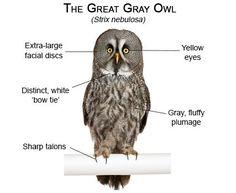 Great Gray Owl Owl Facts, Owl Species, Strix Nebulosa, Owl Artwork, Great Grey Owl, Gray Owl, Wise Owl, Small Birds, Zoology
