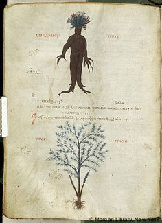 De materia medica, MS M.652 fol. 104v - Images from Medieval and Renaissance Manuscripts - The Morgan Library & Museum