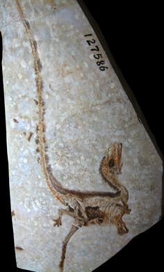 Sinosauropteryx: a member of the Jehol Biota (Yixian Formation) & the genus of dinosaur outside of Avialae (birds & their immediate relatives) to be found w/evidence of feathers, seen clearly in this gorgeous fossil Dinosaur Bones, Dinosaur Fossils, Extinct Animals, Prehistoric Creatures, Rocks And Gems, Rocks And Minerals, Crystals Minerals, Jurassic Park, Archaeology