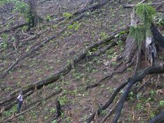 Fallen giants - the stumps of huge primary rainforest trees cleared to make way for slash and burn farming.