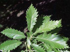 Tree Leaf Identification | ISU Forestry Extension - Tree Identification: Chinkapin Oak (Quercus ...