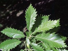 Tree Leaf Identification | ISU Forestry Extension - Tree Identification: Chinkapin Oak (Quercus ...