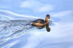 Grebe crossing Widewater on the C&O Canal.  By Francis Sullivan. Prints $21.