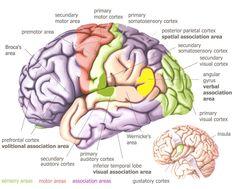 Hypothalamus Brain Diagram