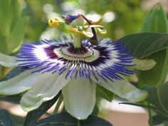 Blue Passion Osaka Flower (10 Seeds)