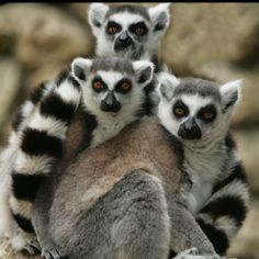 Lemur with family. One of the most amazing creatures on our planet, the Ring-tail lemur, is capable of unbelievable leaps! RainForest Adventures is home to a growing troop of Ring-tail lemurs. Beautiful Creatures, Animals Beautiful, Cute Animals, Wild Animals, Primates, Mammals, Reptiles, Crazy Eyes, Pets For Sale