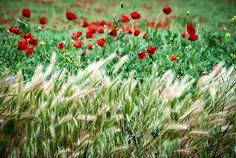 Miguel Angel SGR posted a photo:  Campos de cereales bajo una leve brisa de primavera.  Camarenilla - Toledo - Castilla la Mancha - España / Spain.