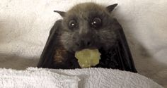 Bat Adorably Stuffs Her Face with Grapes