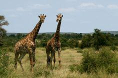 Giraffes at Kruger, South Africa. South Africa Wildlife, Mandarin Duck, Primates, Giraffes, German Shepherd Dogs, Amphibians, Polar Bear, Dolphins, Squirrel